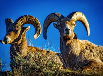 Mouflon Nivicola