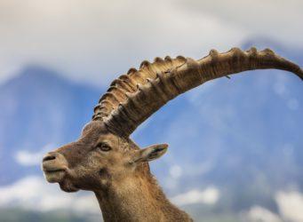 Ibex alpine